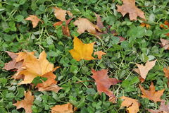 Fallen Maple Leaf Royalty Free Stock Images