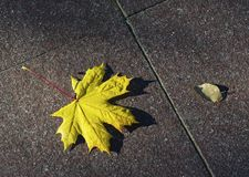 Fallen maple leaf on a concrete path.  royalty free stock photos