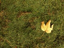 Fallen maple leaf.  Decay harvested grass in big green smell mound in corner of garden. Stock Photo