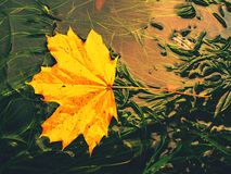 Fallen maple leaf in green algae. Dotted maple leaf Royalty Free Stock Photography