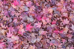 Fallen maple leaf on ground Stock Image
