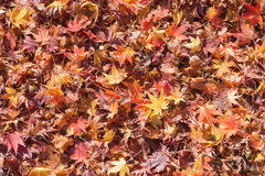 Fallen maple leaf on ground late Autumn season Stock Photo