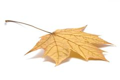Fallen Maple Leaf, Isolated On White Royalty Free Stock Images