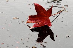 Fallen maple leaf. Fallen red maple leaf symbolizes sadness and loneliness. The picture was taken in San Jose, California, USA. November 2014 Royalty Free Stock Photo
