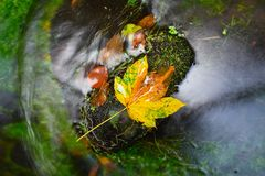 Fallen maple leaf in stream. Cold water is running over dark boulders. And bubbles create on level milky water. Colorful leaves from maple or aspen tree on royalty free stock photos