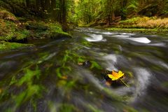 Fallen maple leaf in stream. Cold water is running over dark boulders. And bubbles create on level milky water. Colorful leaves from maple or aspen tree on royalty free stock image