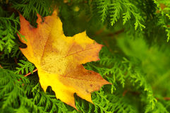 Fallen maple leaf on the thuja branches Stock Photo