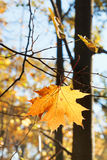 Fallen maple leaf on twig in autumn Royalty Free Stock Images