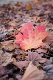 Fallen Maple leaf in the wood in autumn season Royalty Free Stock Images