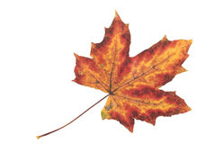 Fallen maple leaf yellow and red color. On a white background Stock Photography