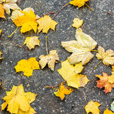 Fallen maple leafs on grey ground Royalty Free Stock Image