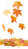 Fallen Maple Leaves Stock Photo