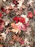 Fallen maple leaves in Autumn stock photos