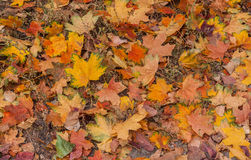 Fallen maple leaves in autumn Royalty Free Stock Photos