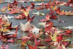 Fallen maple leaves in autumn colors. Tuscany, Italy, maple leaves in autumn colors fallen on a street in a city park royalty free stock images