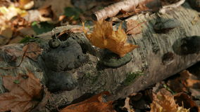 Fallen maple leaves in the autumn forest in the trunk of a fallen birch tree. stock video