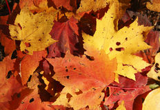 Free Fallen Maple Leaves Backgroung Stock Image - 22106641