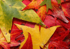Fallen Maple Leaves Backgroung Stock Image