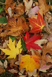 Fallen maple leaves in Canada. Fallen red, yellow, orange and brown maple leaves in autumn in Montreal, Canada Stock Image