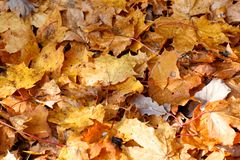 Fallen Maple Leaves Covering the Ground in Fall Royalty Free Stock Image