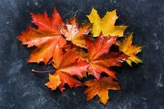 Colorful fallen maple leaves stock images