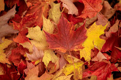 Fallen maple leaves Stock Images