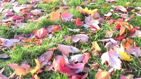 Fallen Maple Leaves on Garden in Autumn or Fall stock footage