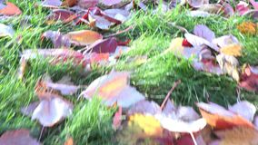 Fallen Maple Leaves on Garden in Autumn or Fall stock video