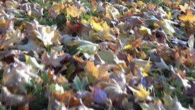 Fallen Maple Leaves on Garden in Autumn or Fall stock video footage