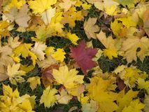Fallen maple leaves Stock Photos