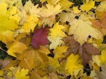 Fallen maple leaves Stock Photo