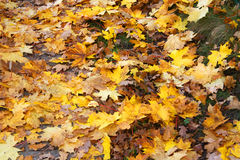 Fallen maple leaves Royalty Free Stock Image