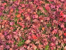Fallen maple leaves on a ground Stock Photos
