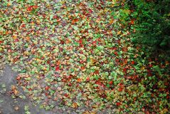 Fallen maple leaves on the ground top view stock photo