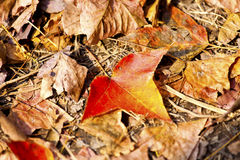 Fallen maple leaves Royalty Free Stock Photos