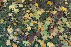 Fallen maple leaves in the leafage of Glechoma hederacea. From above Royalty Free Stock Photo