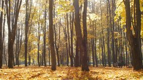 Fallen maple leaves lie in the city park in autumn. Leaf fall in forest in sunny day. Beautiful nature for background. Leaf fall in forest in sunny day stock video footage