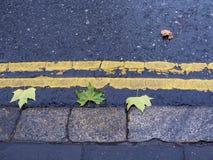 Maple leaves lying on wet asphalt in rainy autumn weather. Stock Photography