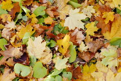 Fallen maple leaves Royalty Free Stock Images
