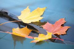 Free Fallen Maple Leaves On Car Cowl Royalty Free Stock Photo - 9290895