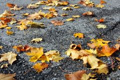 Fallen Maple Leaves on Sidewalk Royalty Free Stock Photos