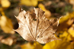 The fallen maple leaves Royalty Free Stock Photos
