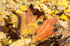 The fallen maple leaves Royalty Free Stock Image