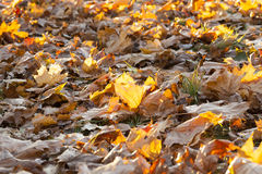 The fallen maple leaves. The fallen to the ground yellowed maple leaves in autumn season. Small depth of field. Foliage illuminated backlit sun. The photo was Stock Image