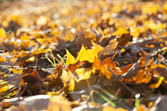 The fallen maple leaves Stock Images