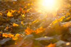 The fallen maple leaves Stock Photo