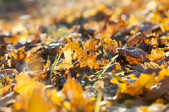 The fallen maple leaves Stock Photos