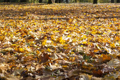 The fallen maple leaves Stock Image