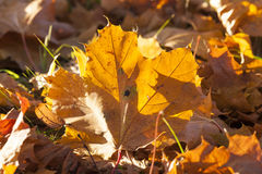 The fallen maple leaves Royalty Free Stock Photo