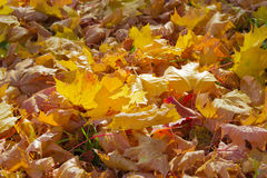 Fallen maple leaves Royalty Free Stock Photography